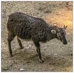 Mischwesen aus Schaf und Ziege