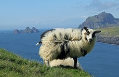 Miss Sheep