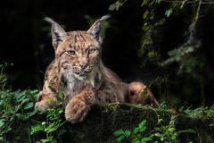 MISSION IMPOSSIBLE: THE ULTIMATE PORTRAIT OF LYNX