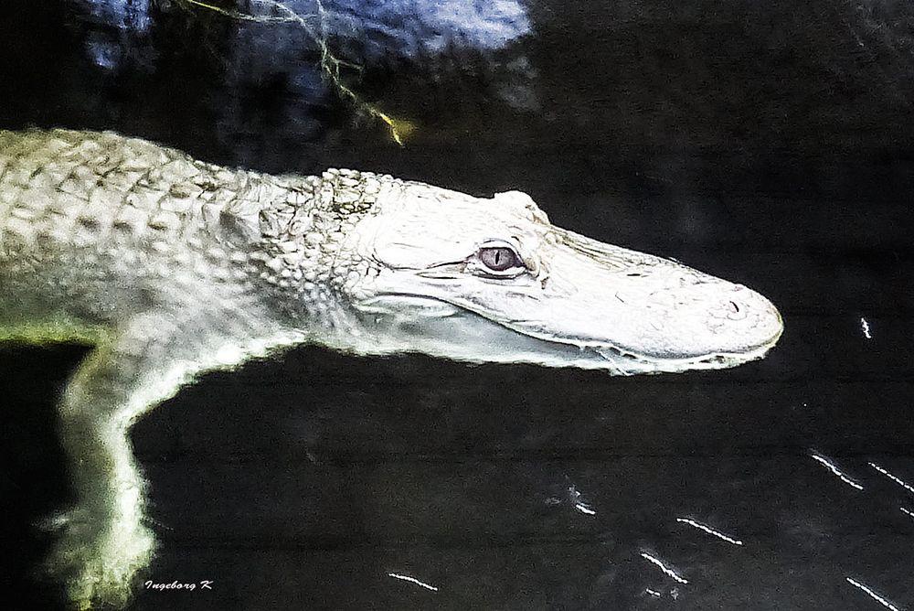Missisippe Alligator - Terrazoo Rheinberg - aufgenommen unter Wasser