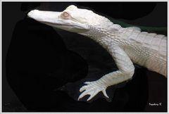 Missisippi-Alligator -  Terrazoo Rheinberg  - nur 60 weltweit