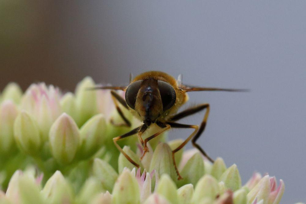 Mistbiene (Eristalis tenax) (V)