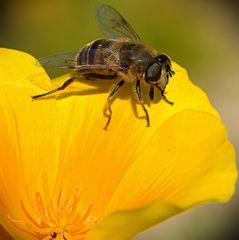 Mistbiene (oder Scheinbienen-Keilfleckschwebfliege)