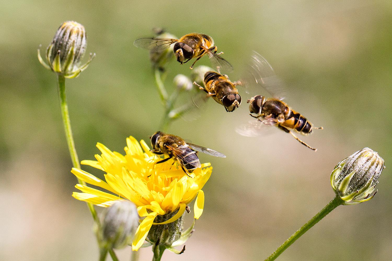 Mistbienen: Streit der Männchen um das Weibchen auf der Blüte!