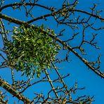 Mistel im Apfelbaum