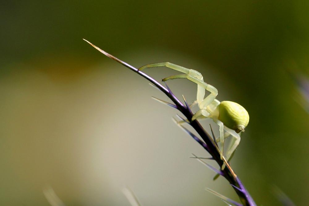 Misumena vatia, l'Araignée crabe