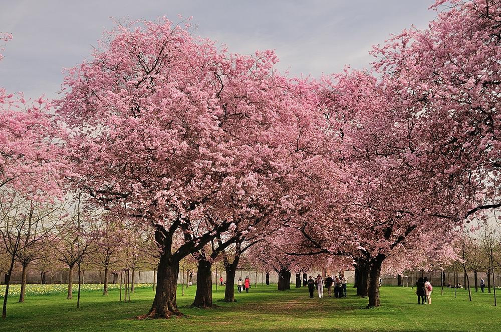 Mit dem Foto von der Kirschblüte (17.04.13) im Schwetzinger Schlossgarten, die leider auch...