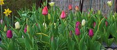 Mit den Tulpen geht es nun schneller, als ich noch vor wenigen Tagen...