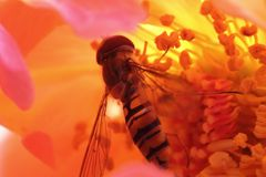 Mit der Hainschwebfliege (Episyrphus balteatus) in einer Rosenblüte