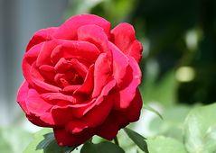 Mit der Rose allen FC-Freundinnen die besten Wünsche zum 8. März ...