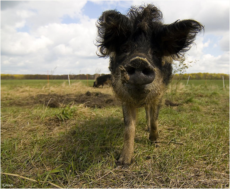 Mit der Wollschweinschnute auf Augenhöhe