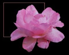 Mit diese Rose... # Con esta rosa...