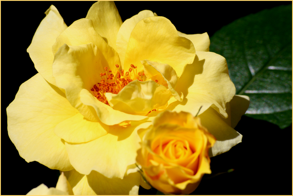Mit dieser gelben Rose
