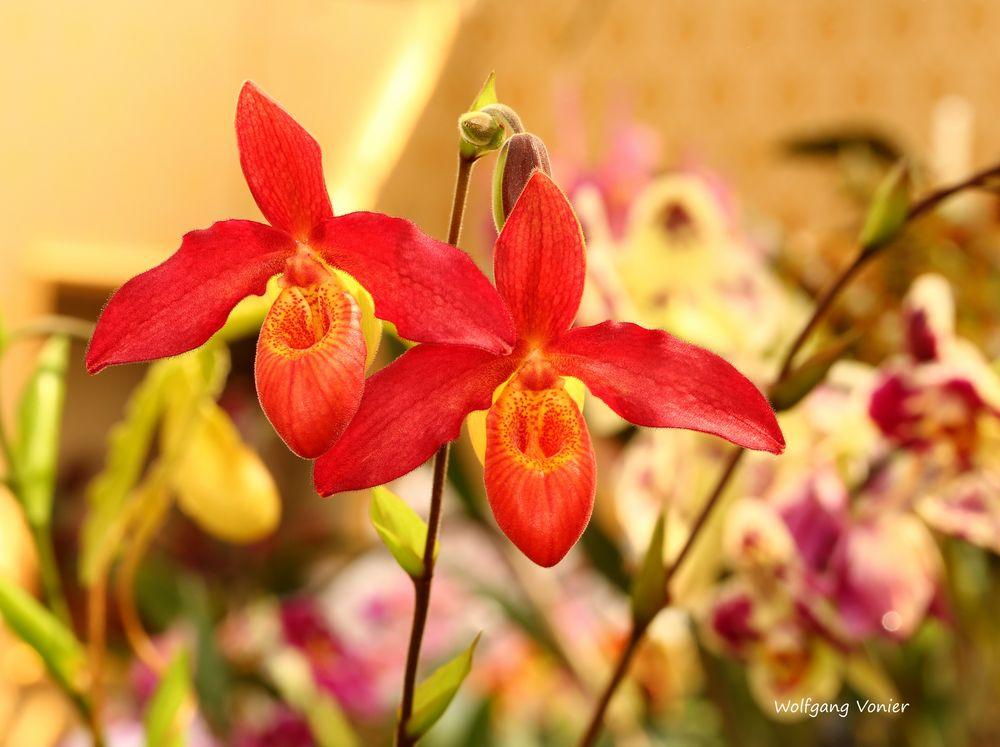 Mit dieser herrlichen Orchidee, wünsche ich allen Besuchern ein wunderschönes Wochenende.