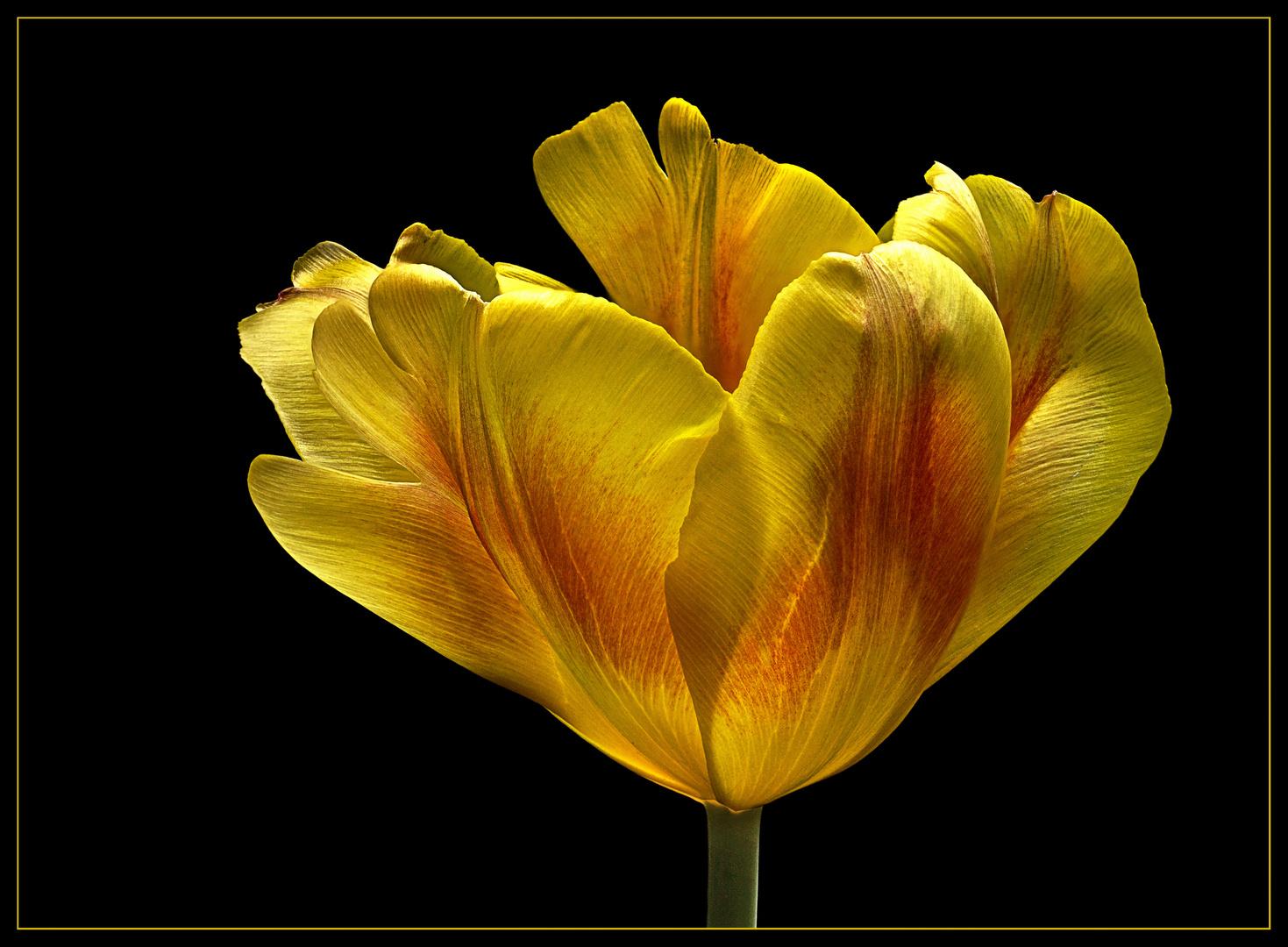 Mit dieser Januar-Tulpe aus dem Gartencenter .. möchte ich zarte Frühlingsgefühle wecken