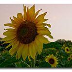 Mit dieser leuchtenden Sonnenblume möchte ich mich...