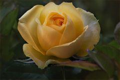 Mit dieser Patio-Rose eröffne ich mein Rosenjahr 2018...
