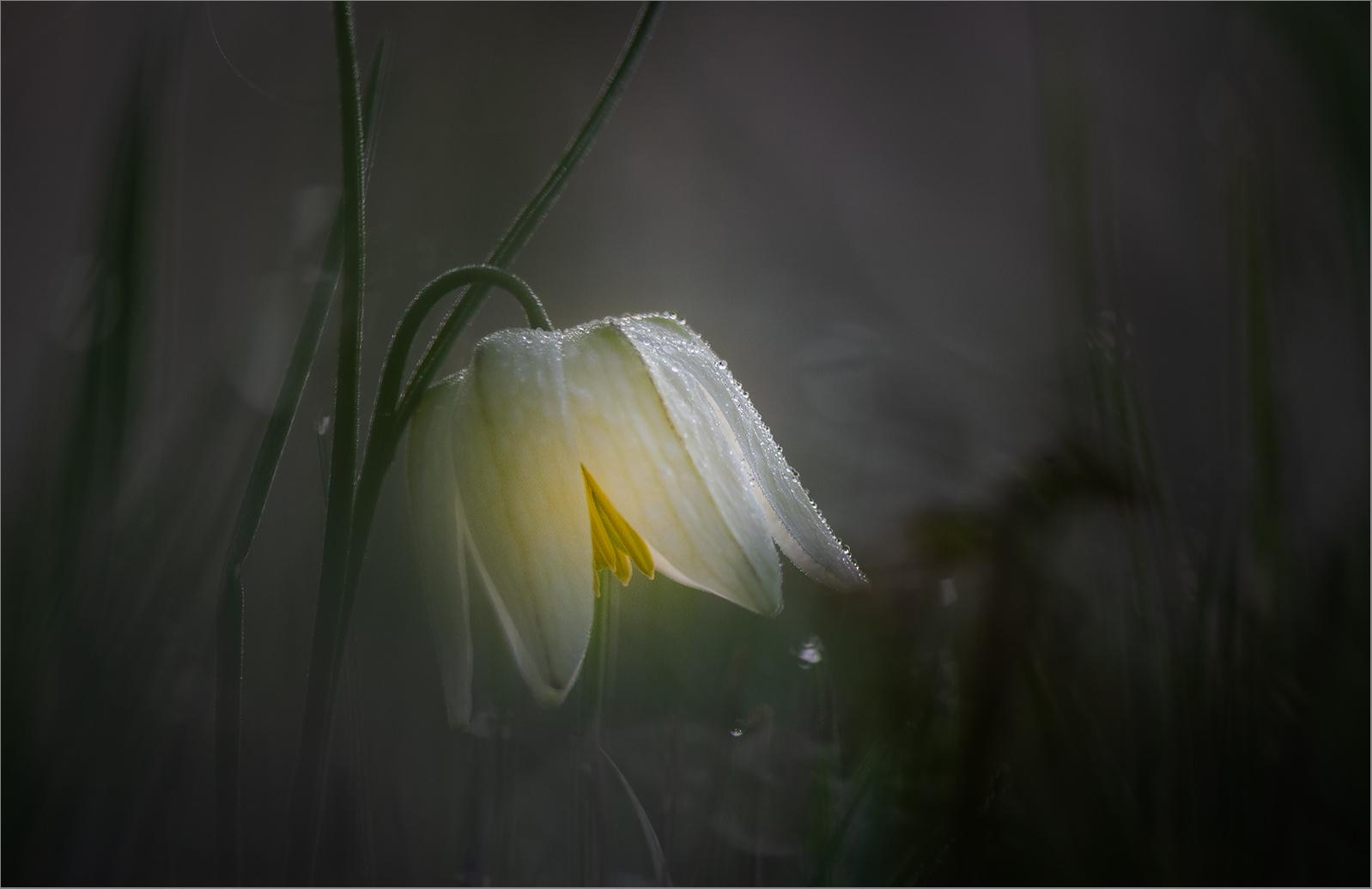 Mit dieser Schachbrettblume in weiß    . . .
