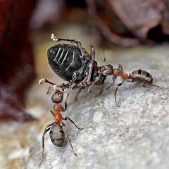 Mit einem solchen Fund stossen auch Ameisen an ihre Grenzen! - Le printemps viendra bientôt!