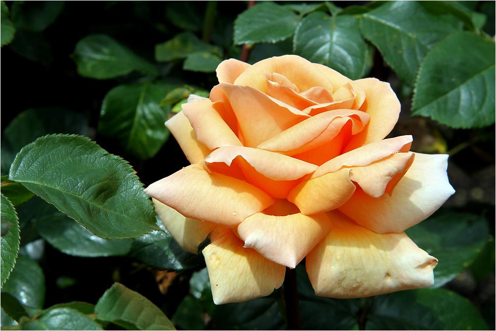Mit einer Rose zum Mittwoch.....