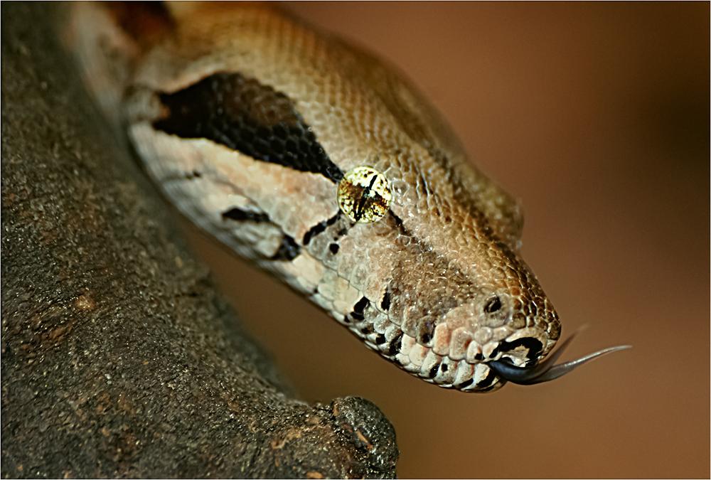 Gespaltene Zunge Schlange