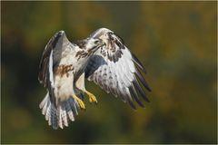Mit kräftigen Flügelschlägen ...