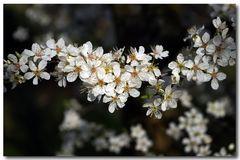 ...mit prächtiger Blüte im März...