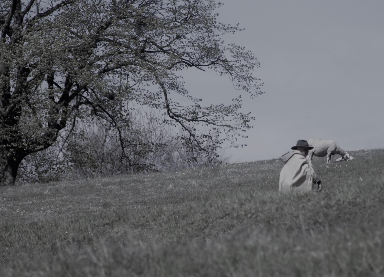 mit  ruhigem Blick auf seine Schafe , der Schäfer