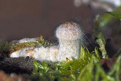 Mit Schimmelpilzen befallene Pilze, eingebettet im nassem Holz. - Un bébé champignon tout frais...