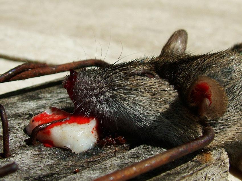 Mit Speck Fängt Man Mäuse Foto Bild Reportage Dokumentation