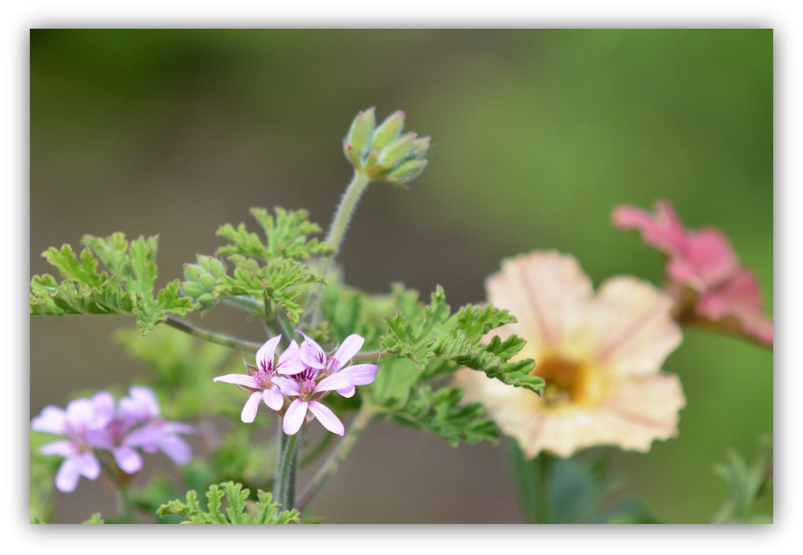 Mit Zitronenduft Gegen Mücken Foto Bild Natur Pflanzen Blüten