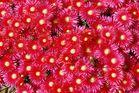 Mittagsblume mit prächtiger Farbe