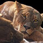 Mittagspause bei den Löwen