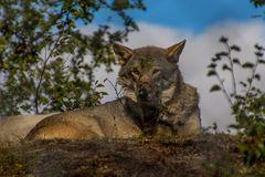 Mittagspause im Wolfsrudel