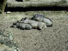 Mittagsschlaf ist keine schweinere