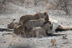 Mittagstisch eines Löwenrudels