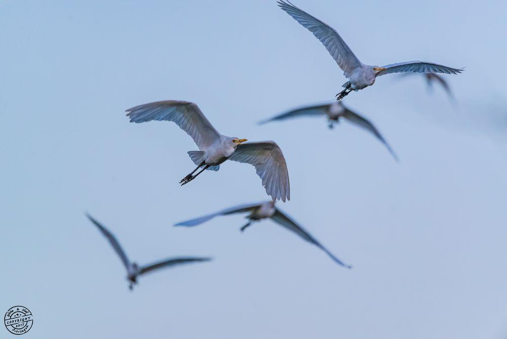 Mittelreiher (Intermediate Egret, Egretta intermedia intermedia)