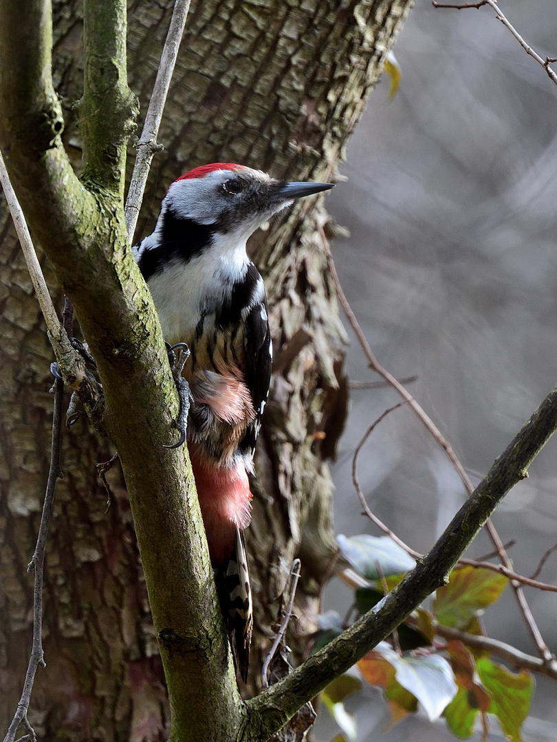 Mittelspecht 2 (m), (Leiopicus medius), Middle spotted woodpecker, Pico mediano
