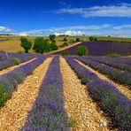 Mitten im Lavendelfeld