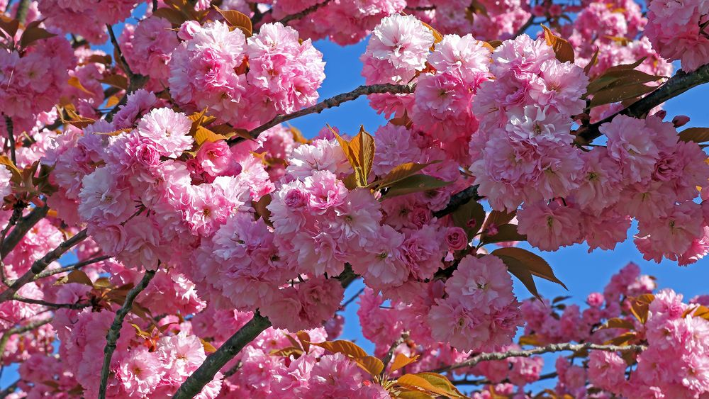 Mitten in die herrlichen Blüten der japaniaschen Zierkirsche, Prunnus serulata gehalten