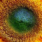 Mitten in die Sonnenblume