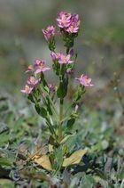 Mittleres Tausendgüldenkraut (Centaurium pulchellum)