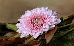 Mittwochblume