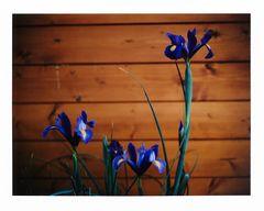 Mittwochs-Iris