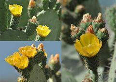 Mittwochs-Kaktus