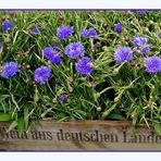 Mittwochs-Korn-(Wein)-Blumen :-)