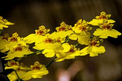 Mittwochs-Orchidee
