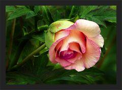 Mittwochs - Rose