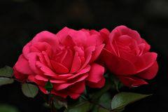 Mittwochs-Rose