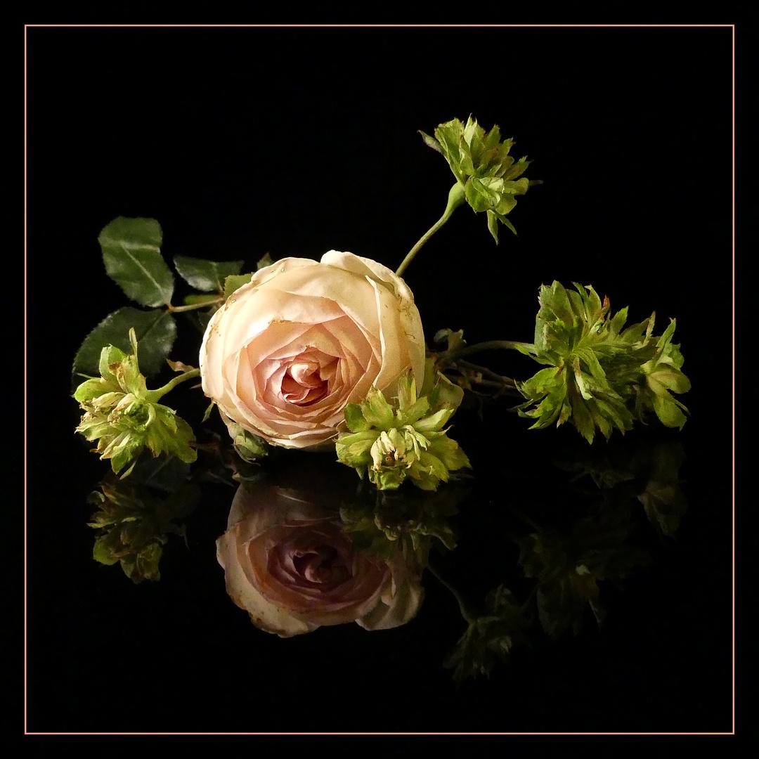 Mittwochs-Rosen